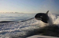 Orca whale emerging from water